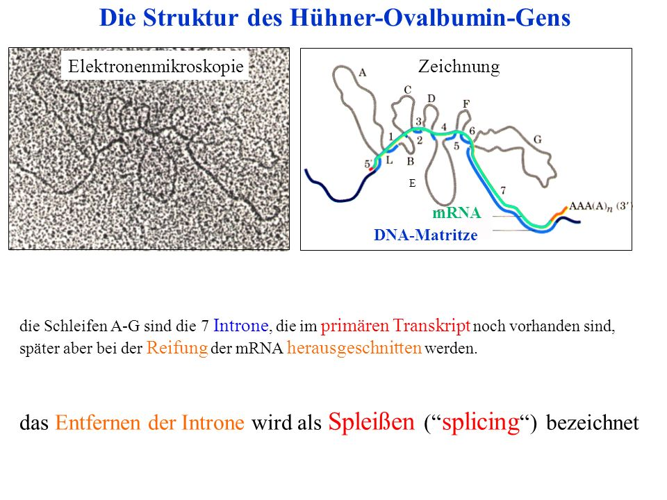Die Struktur des Hühner-Ovalbumin-Gens
