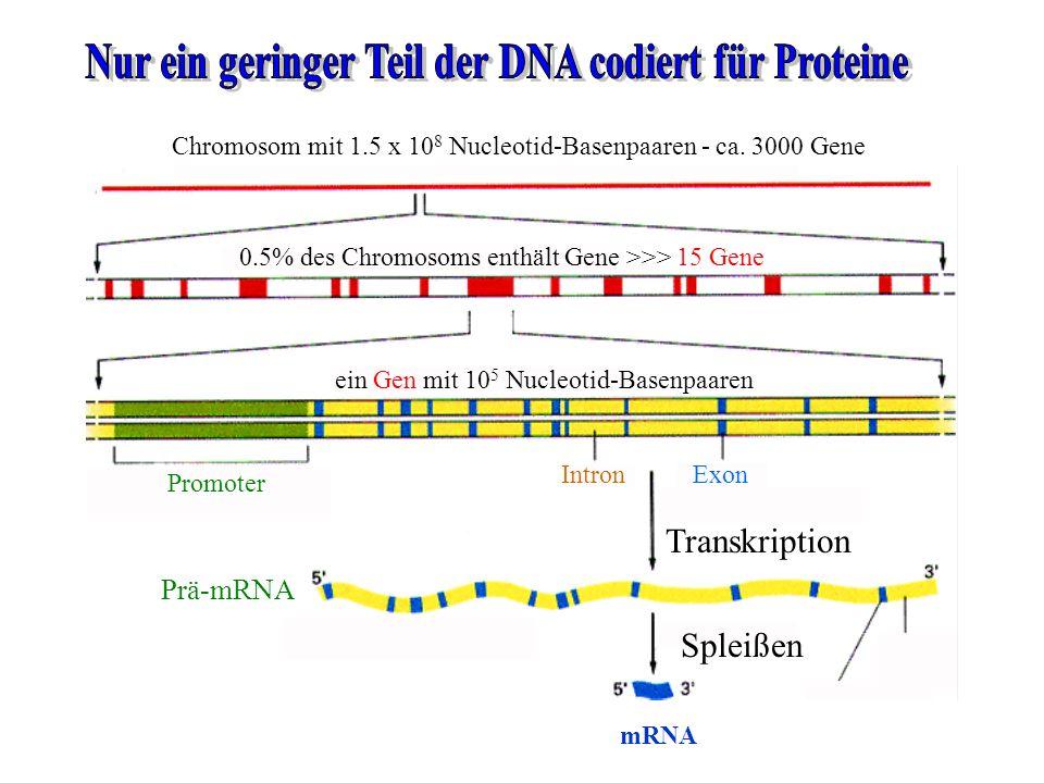 Nur ein geringer Teil der DNA codiert für Proteine