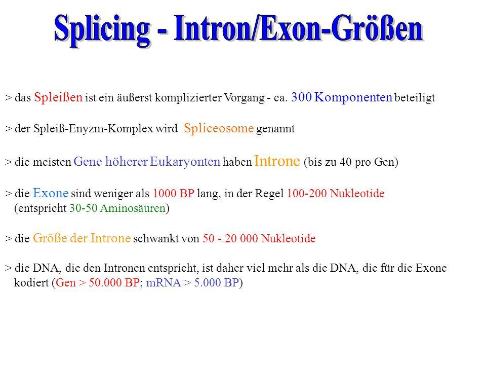 Splicing - Intron/Exon-Größen