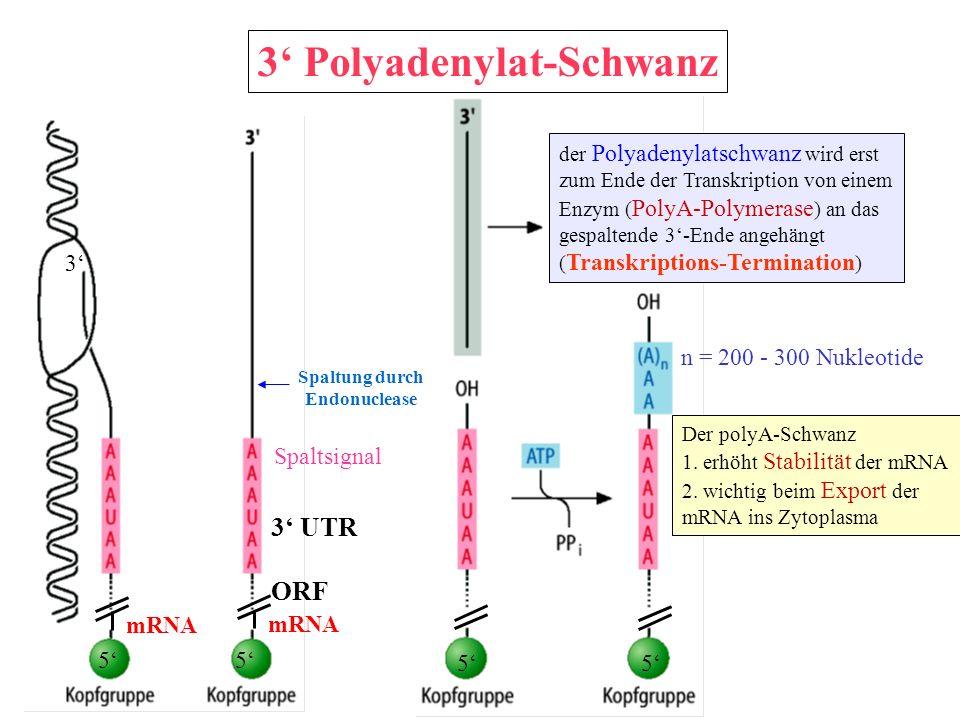 3' Polyadenylat-Schwanz
