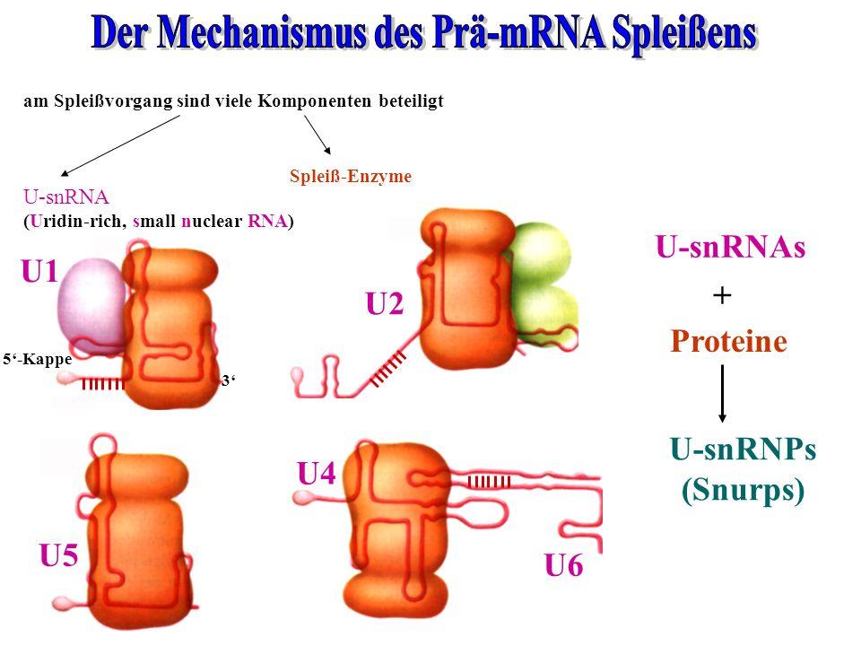 Der Mechanismus des Prä-mRNA Spleißens