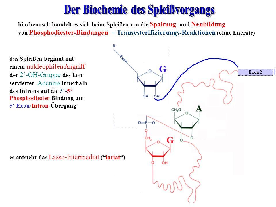 Der Biochemie des Spleißvorgangs