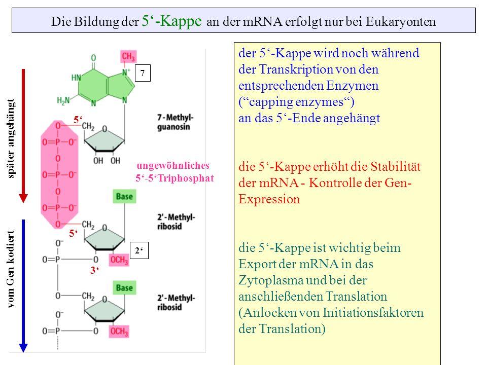 Die Bildung der 5'-Kappe an der mRNA erfolgt nur bei Eukaryonten