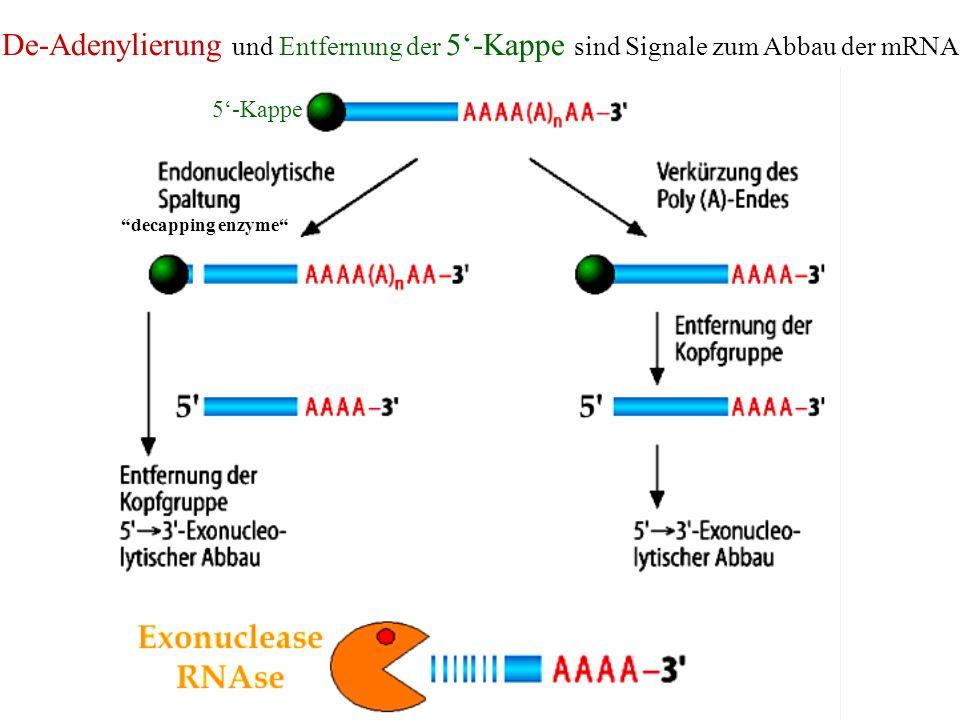 De-Adenylierung und Entfernung der 5'-Kappe sind Signale zum Abbau der mRNA