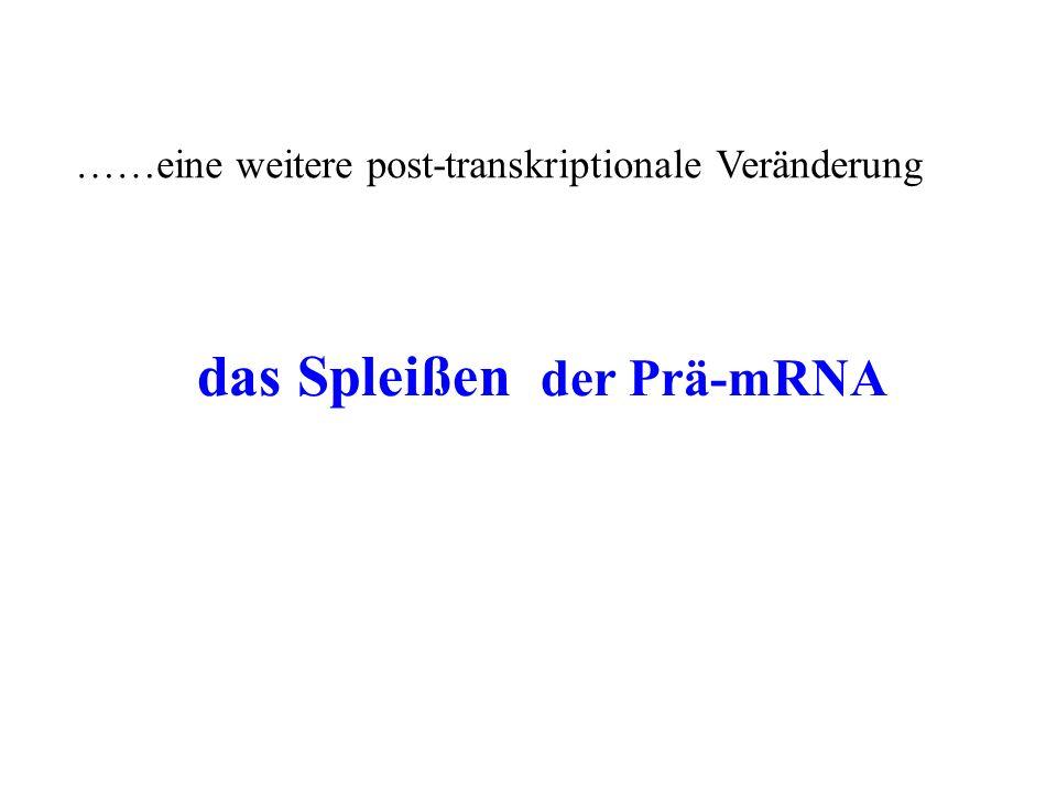 das Spleißen der Prä-mRNA