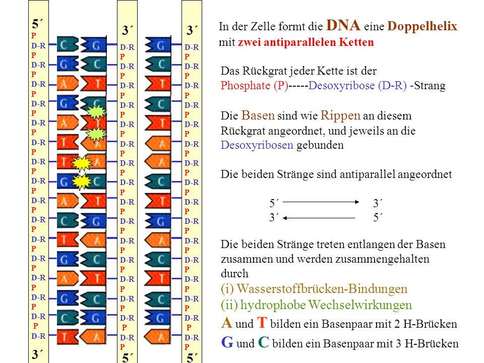 A und T bilden ein Basenpaar mit 2 H-Brücken
