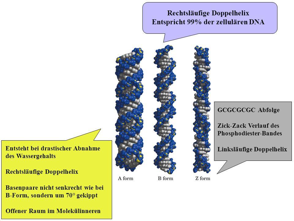 Rechtsläufige Doppelhelix Entspricht 99% der zellulären DNA