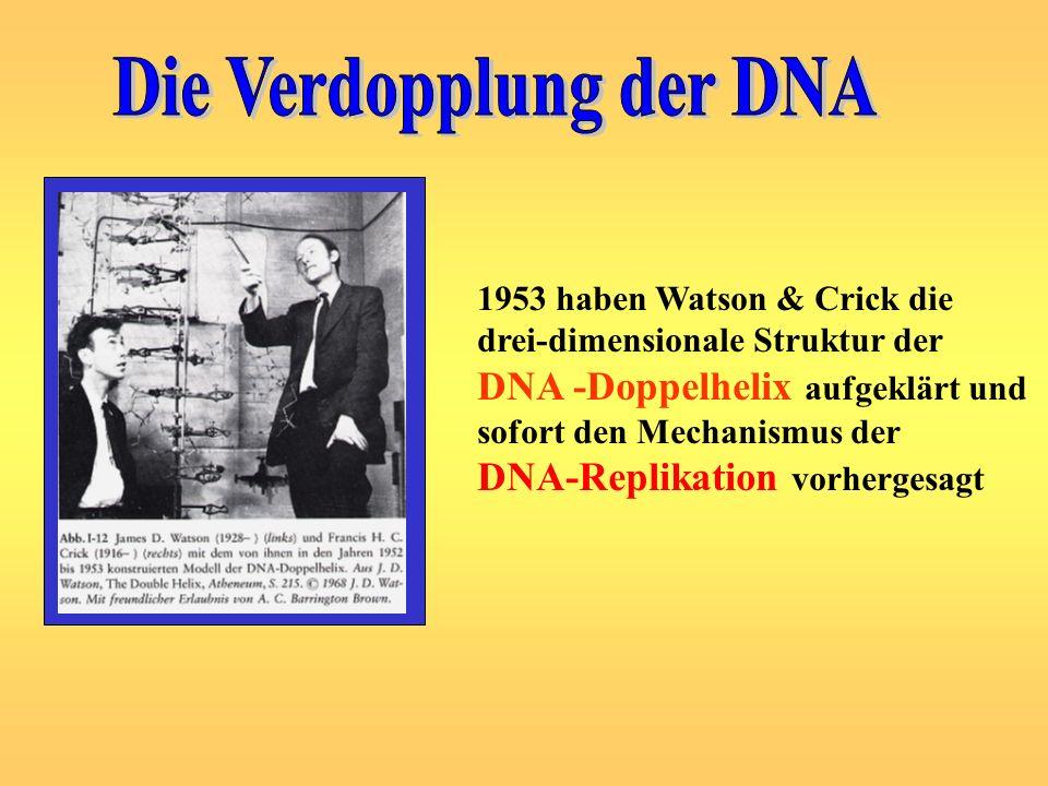 Die Verdopplung der DNA