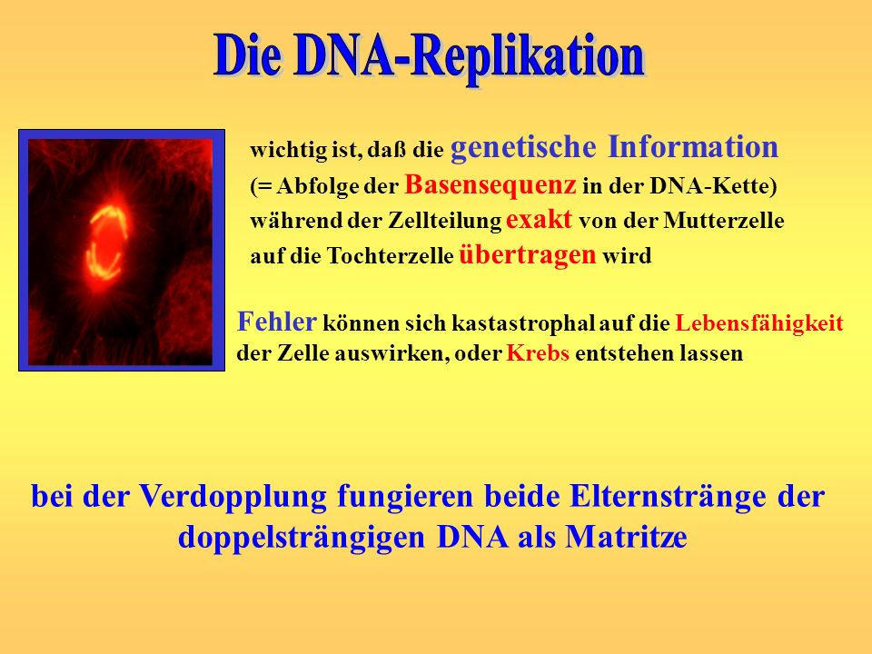 Die DNA-Replikation wichtig ist, daß die genetische Information. (= Abfolge der Basensequenz in der DNA-Kette)
