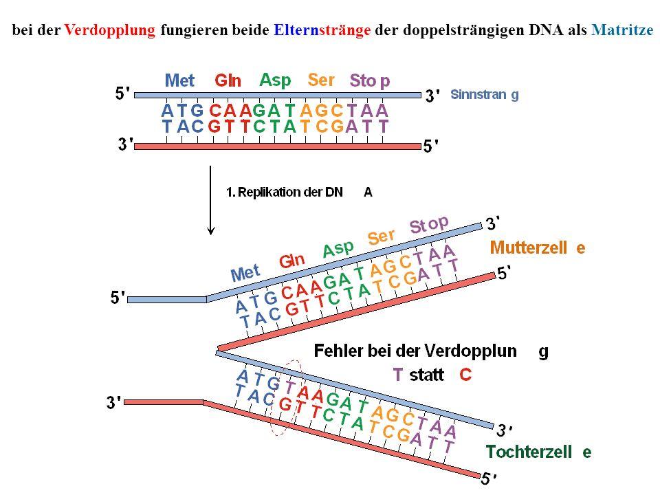 bei der Verdopplung fungieren beide Elternstränge der doppelsträngigen DNA als Matritze