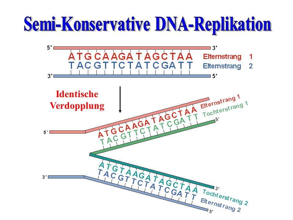 Semi-Konservative DNA-Replikation