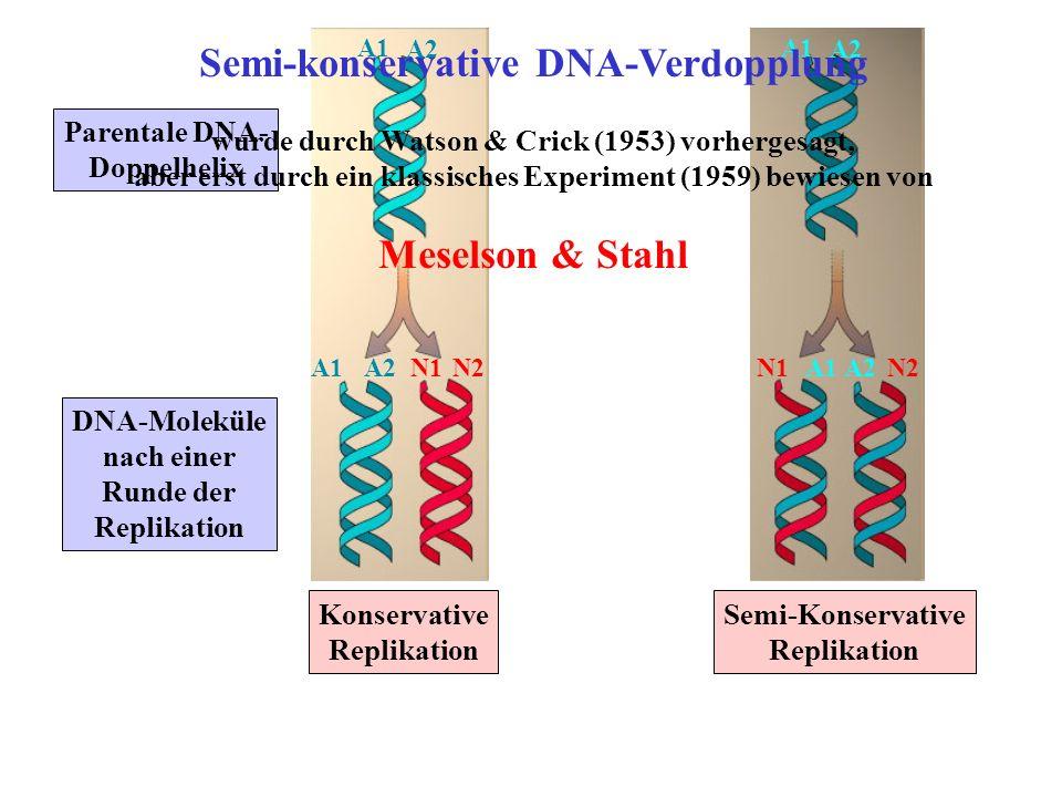 Semi-konservative DNA-Verdopplung Meselson & Stahl