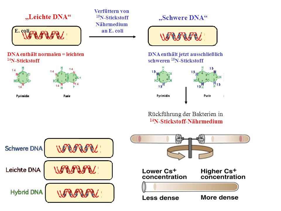 """""""Leichte DNA """"Schwere DNA Rückführung der Bakterien in"""