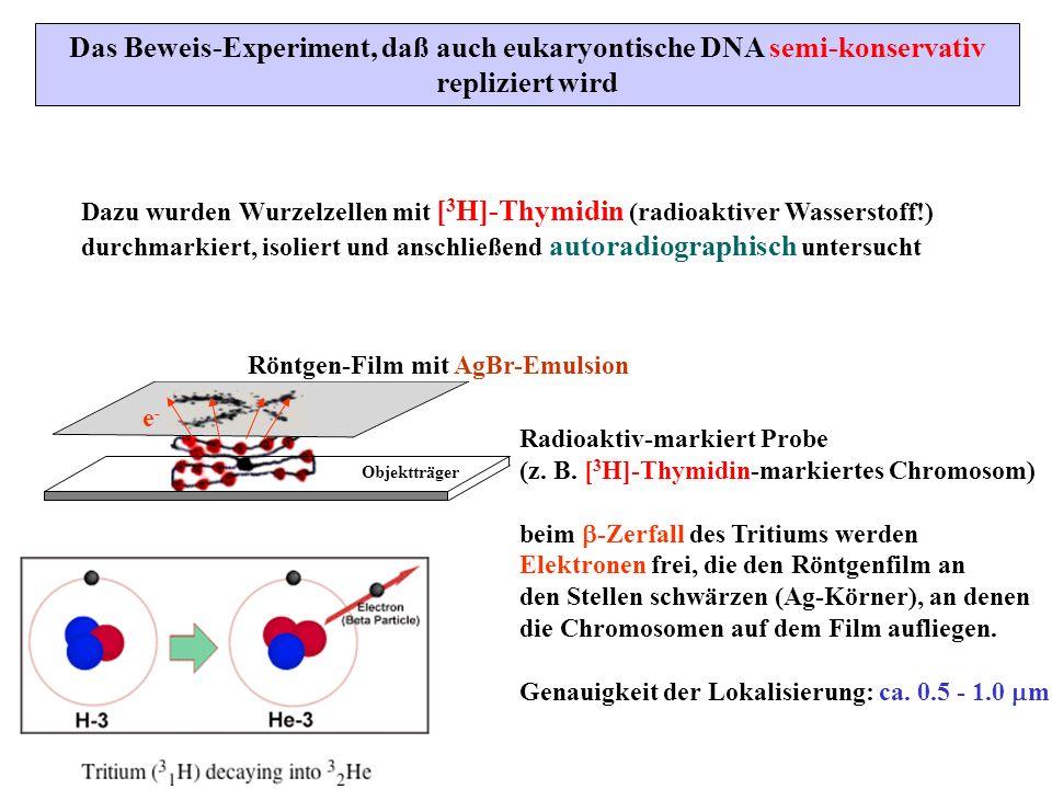 Das Beweis-Experiment, daß auch eukaryontische DNA semi-konservativ
