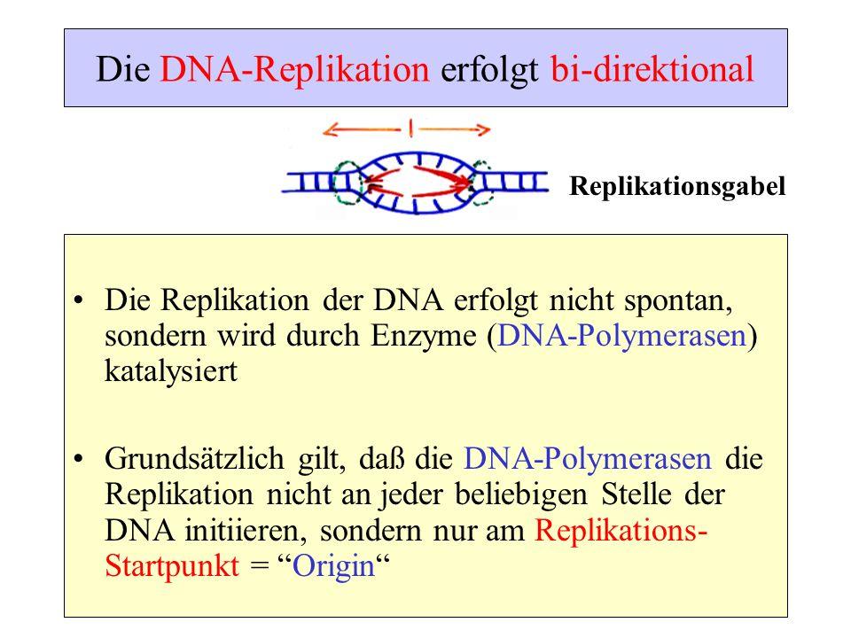 Die DNA-Replikation erfolgt bi-direktional