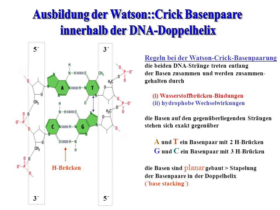 Ausbildung der Watson::Crick Basenpaare innerhalb der DNA-Doppelhelix