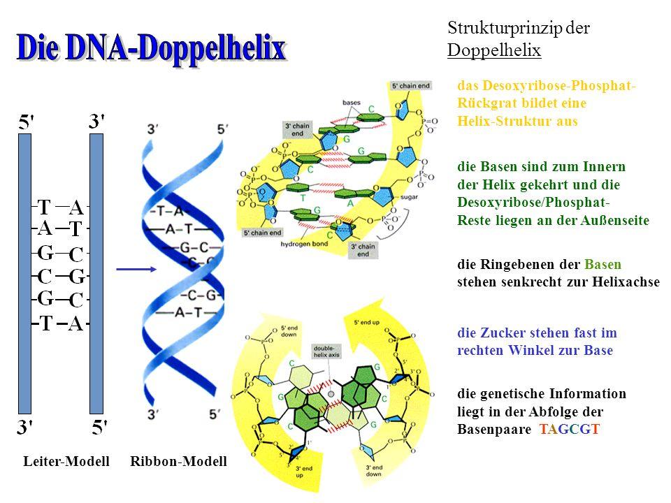 Die DNA-Doppelhelix Strukturprinzip der Doppelhelix