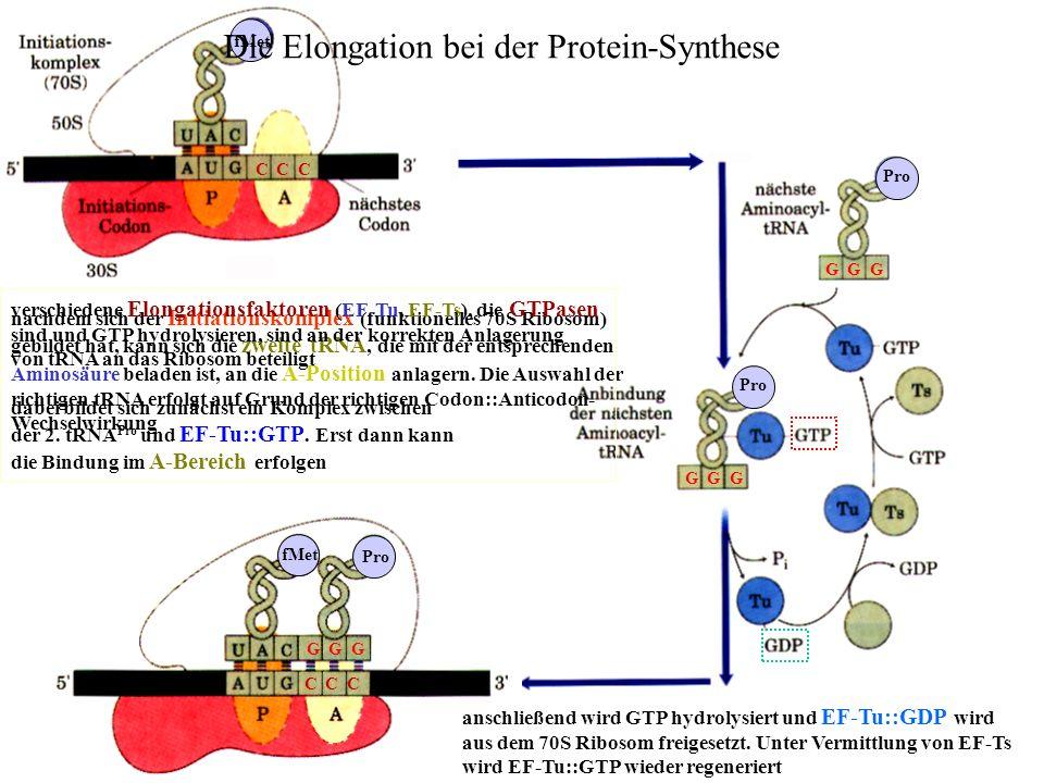 Die Elongation bei der Protein-Synthese