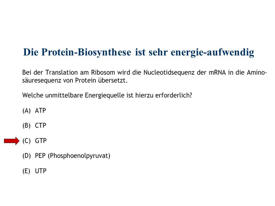 Die Protein-Biosynthese ist sehr energie-aufwendig