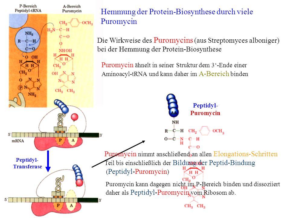 Hemmung der Protein-Biosynthese durch viele Puromycin