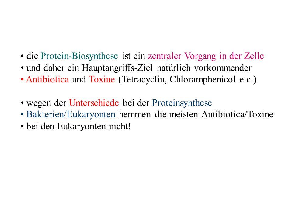 die Protein-Biosynthese ist ein zentraler Vorgang in der Zelle