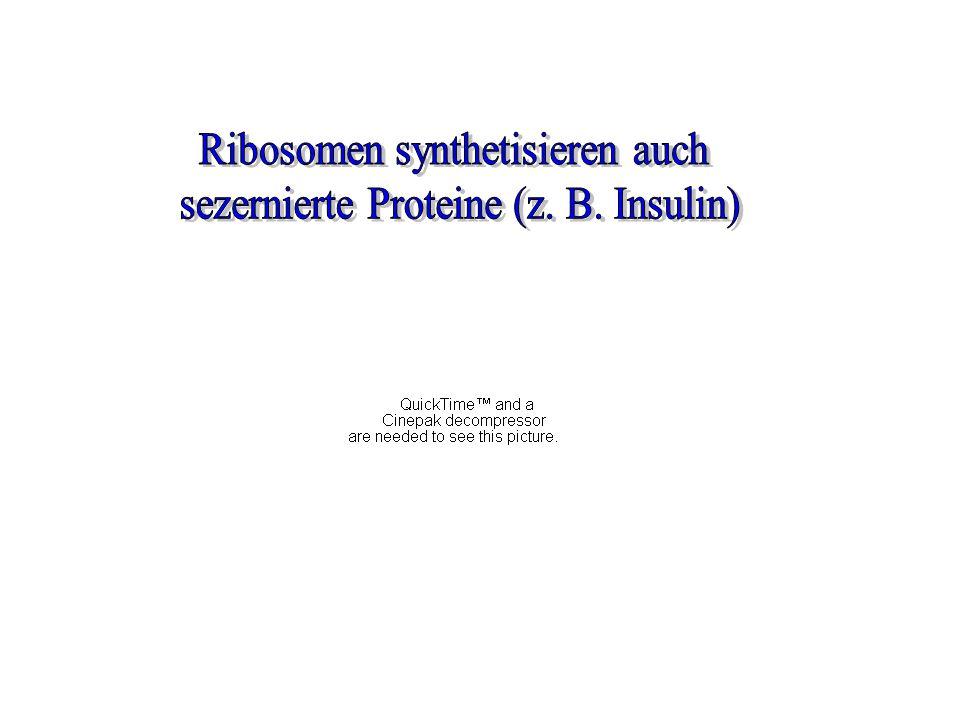 Ribosomen synthetisieren auch sezernierte Proteine (z. B. Insulin)