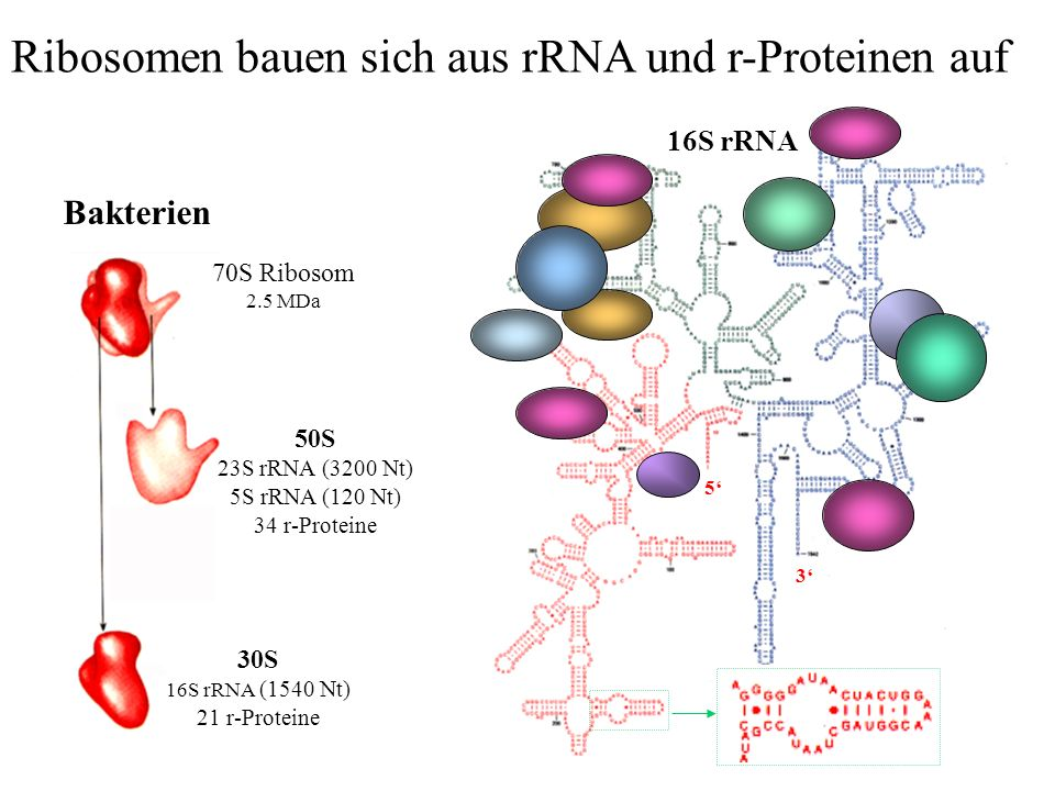 Ribosomen bauen sich aus rRNA und r-Proteinen auf