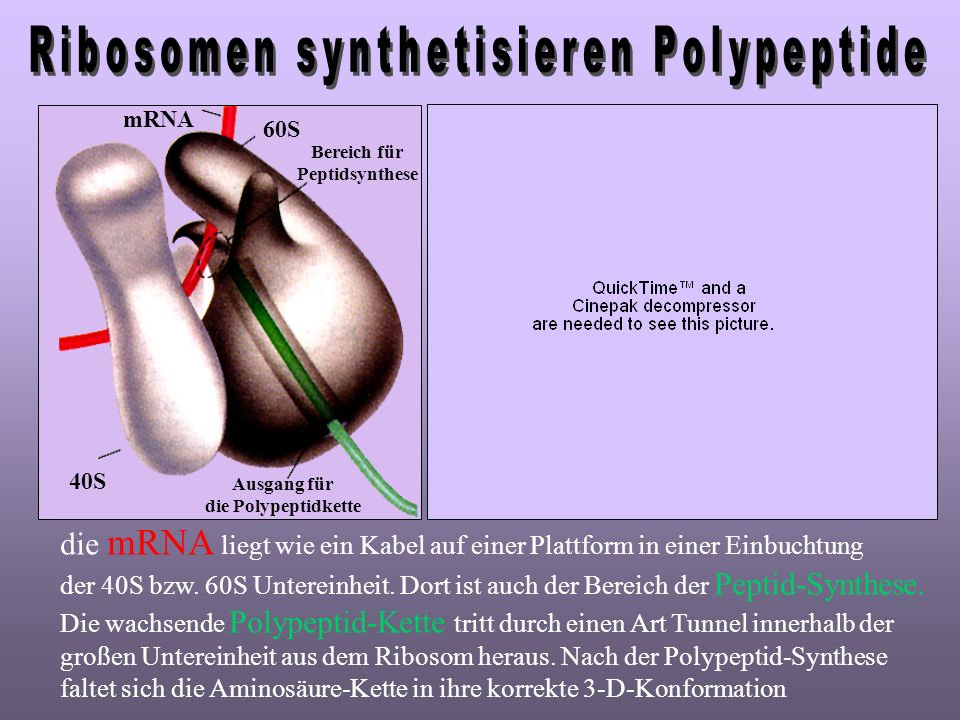 Ribosomen synthetisieren Polypeptide