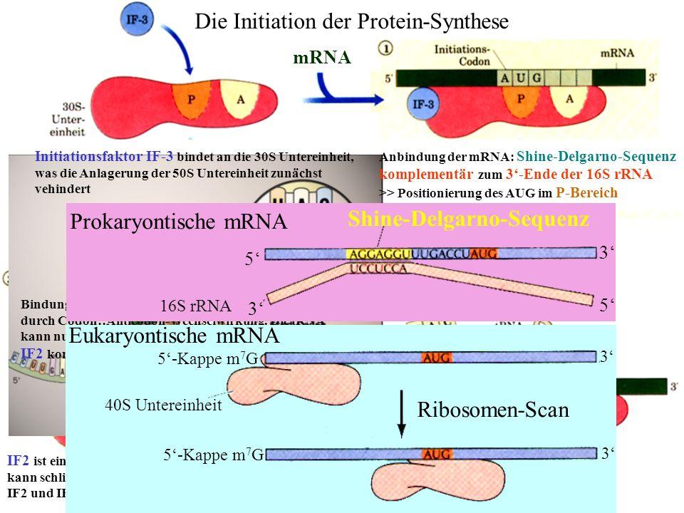 Die Initiation der Protein-Synthese