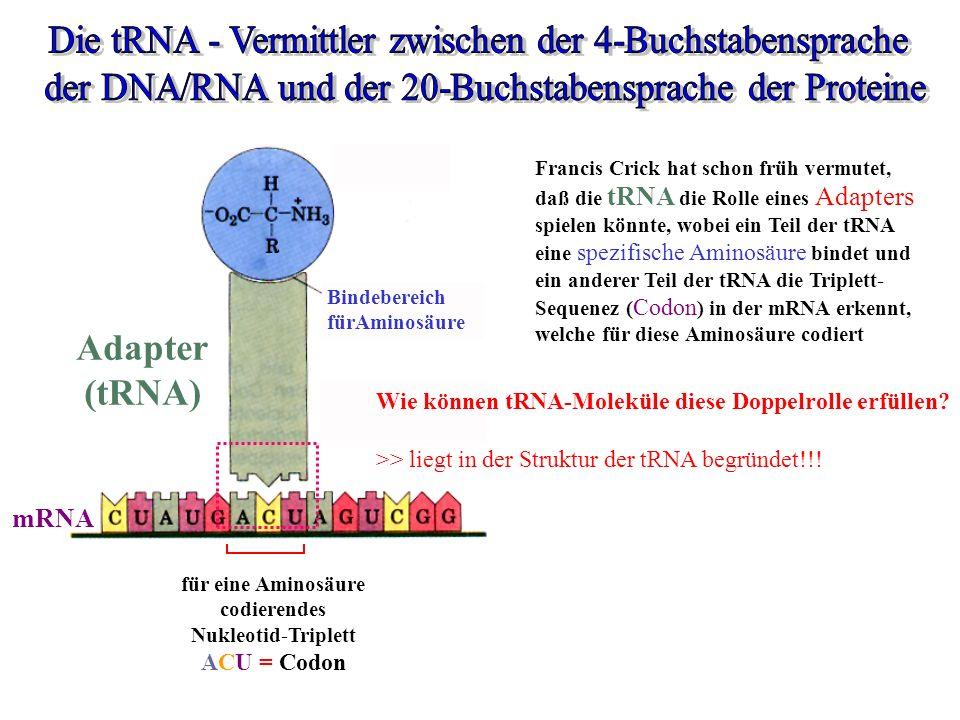 Die tRNA - Vermittler zwischen der 4-Buchstabensprache