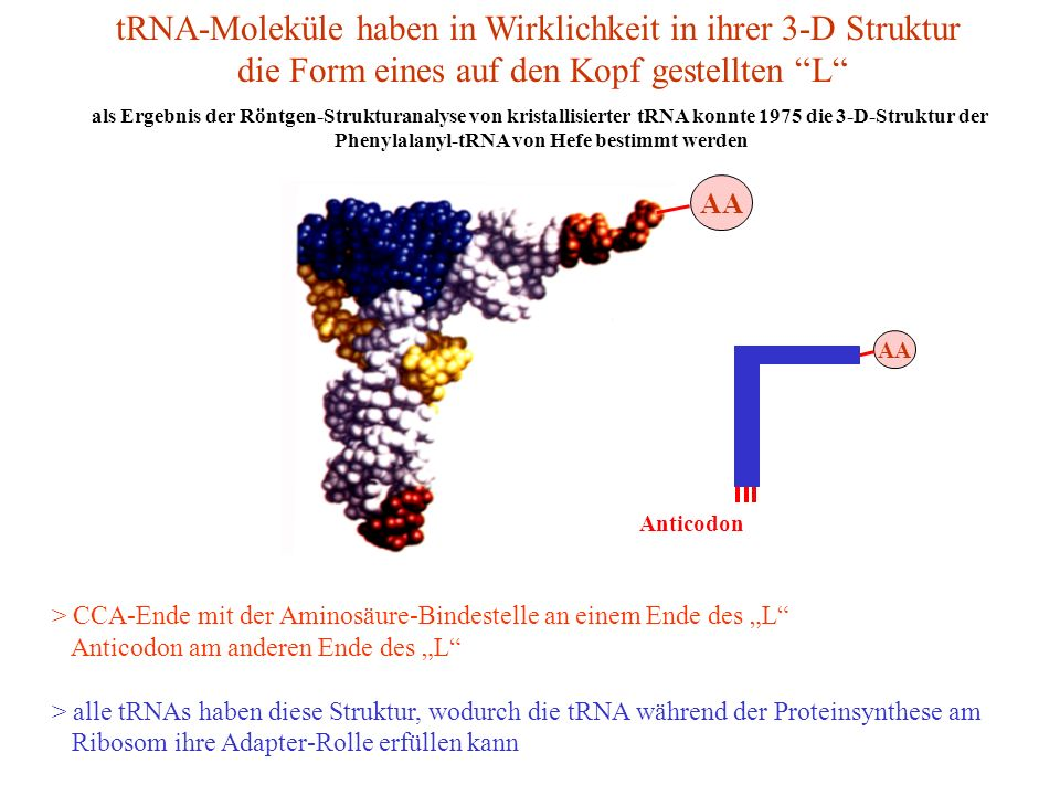 Phenylalanyl-tRNA von Hefe bestimmt werden