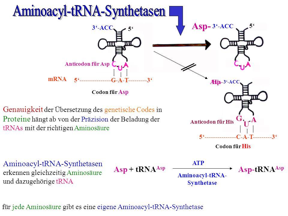 Aminoacyl-tRNA-Synthetasen