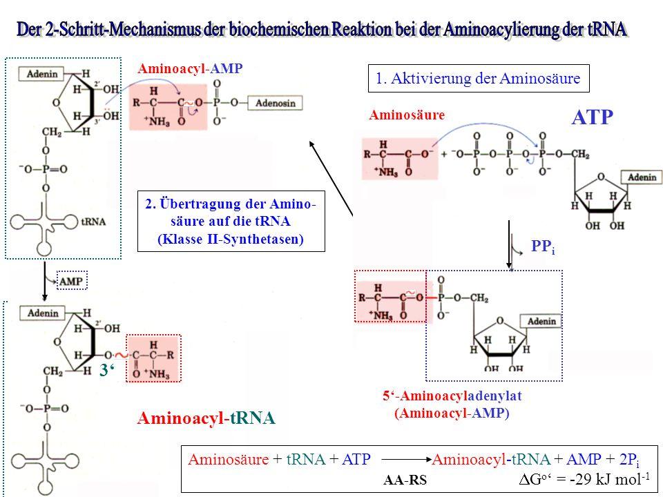 2. Übertragung der Amino- (Klasse II-Synthetasen)
