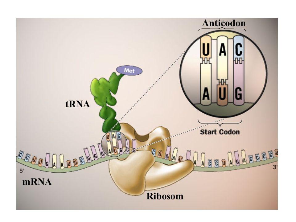 Anticodon tRNA mRNA Ribosom