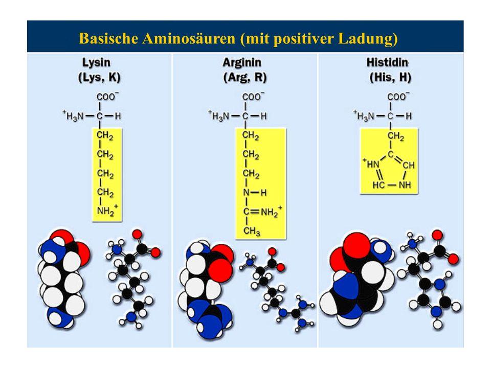 Basische Aminosäuren (mit positiver Ladung)