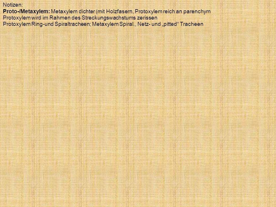 Notizen: Proto-/Metaxylem: Metaxylem dichter (mit Holzfasern, Protoxylem reich an parenchym.