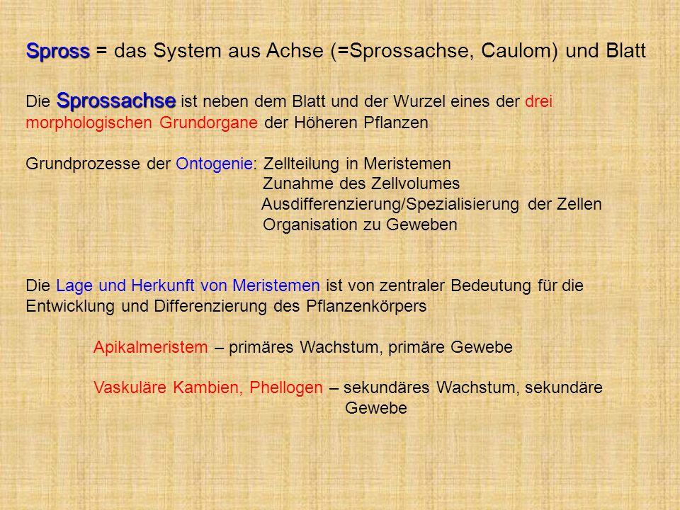 Spross = das System aus Achse (=Sprossachse, Caulom) und Blatt