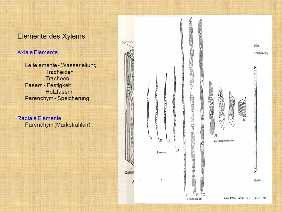 Elemente des Xylems Axiale Elemente Leitelemente - Wasserleitung
