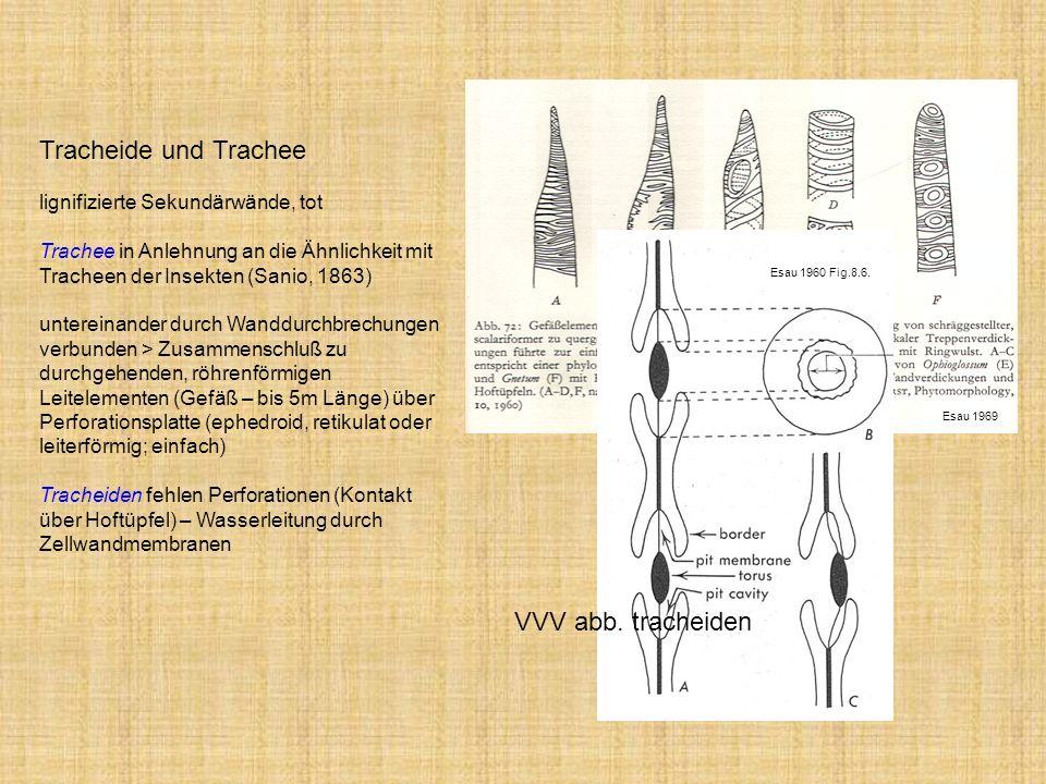 Tracheide und Trachee VVV abb. tracheiden