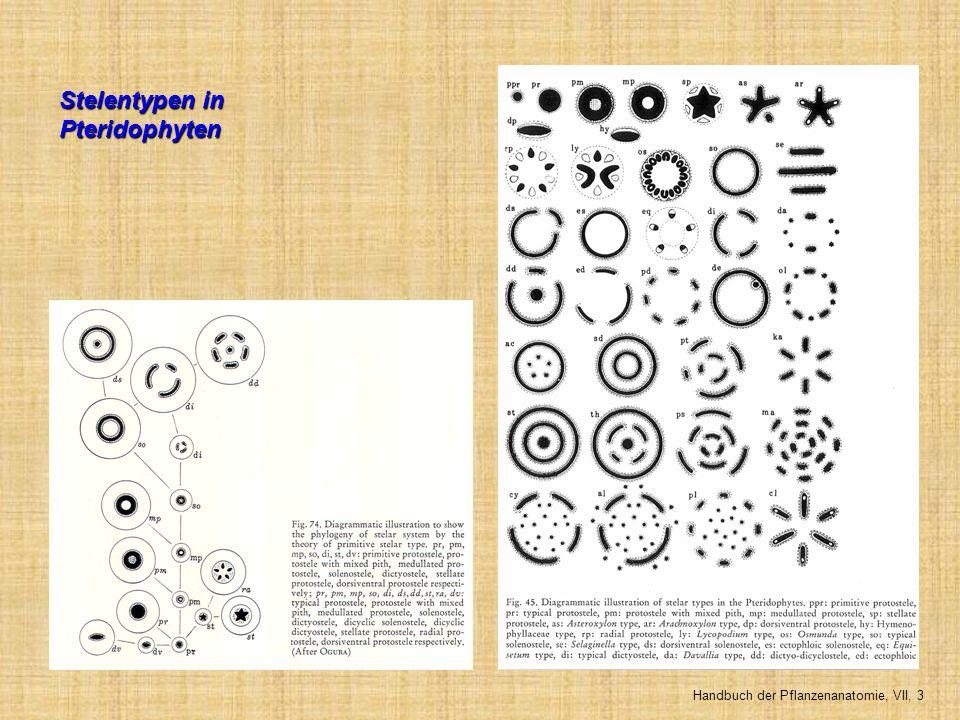 Stelentypen in Pteridophyten