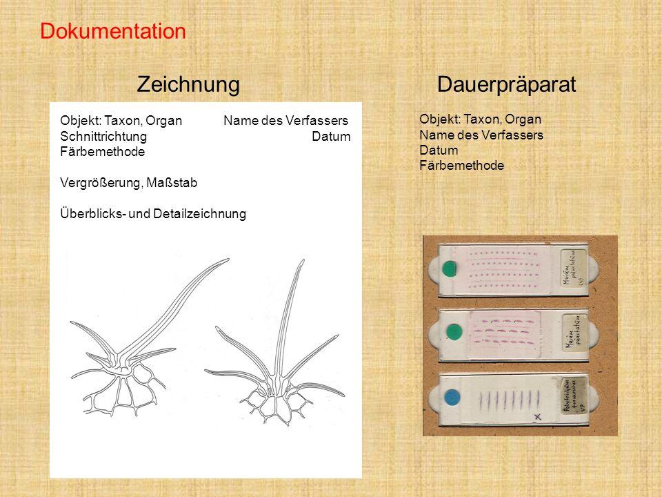 Dokumentation Zeichnung Dauerpräparat