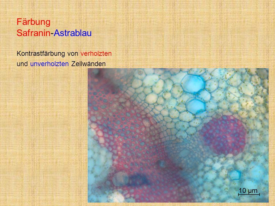 Färbung Safranin-Astrablau Kontrastfärbung von verholzten und unverholzten Zellwänden