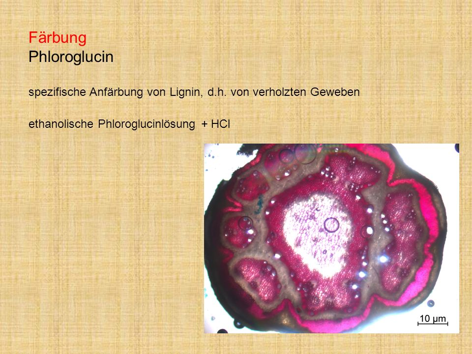 Färbung Phloroglucin spezifische Anfärbung von Lignin, d. h