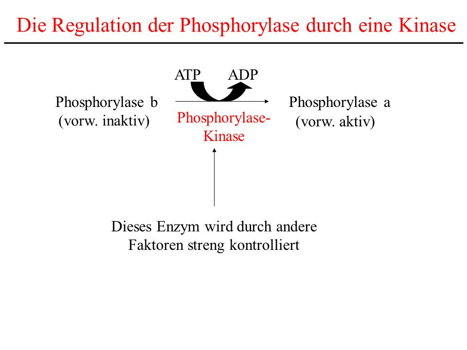 Die Regulation der Phosphorylase durch eine Kinase