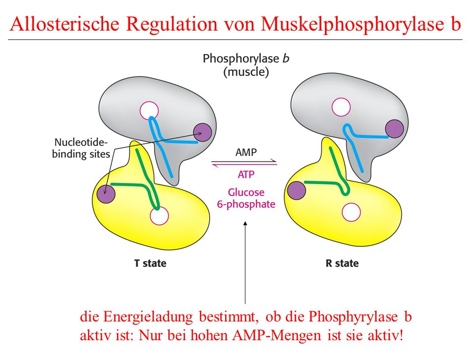 Allosterische Regulation von Muskelphosphorylase b