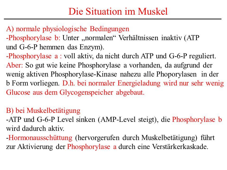 Die Situation im Muskel