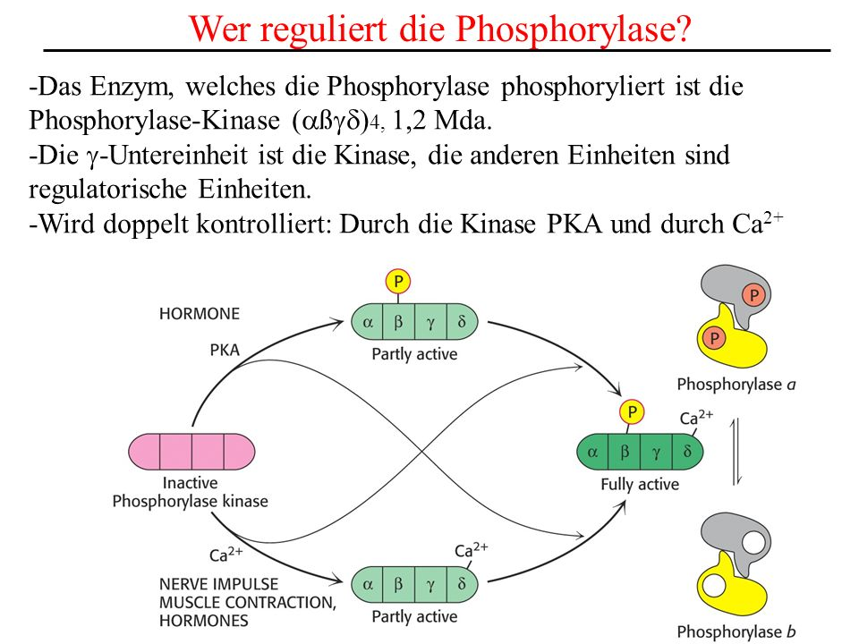 Wer reguliert die Phosphorylase