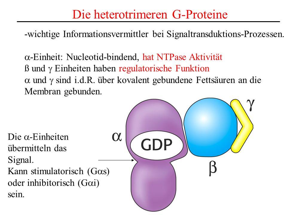 Die heterotrimeren G-Proteine