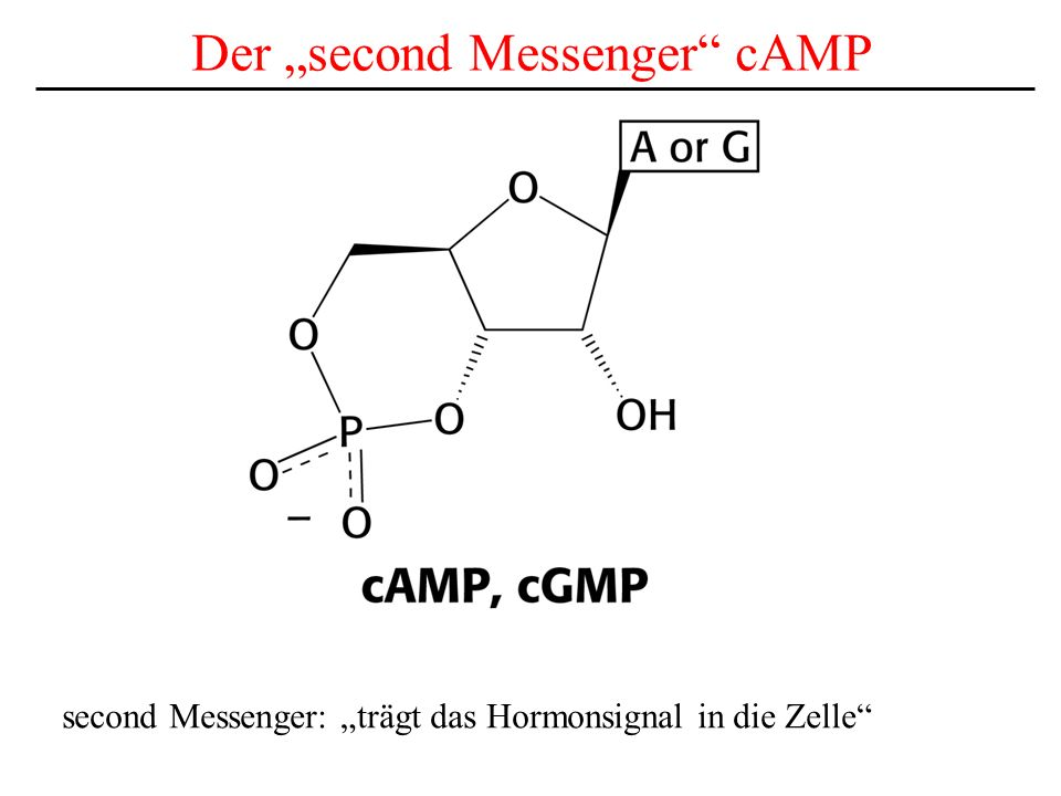 "Der ""second Messenger cAMP"