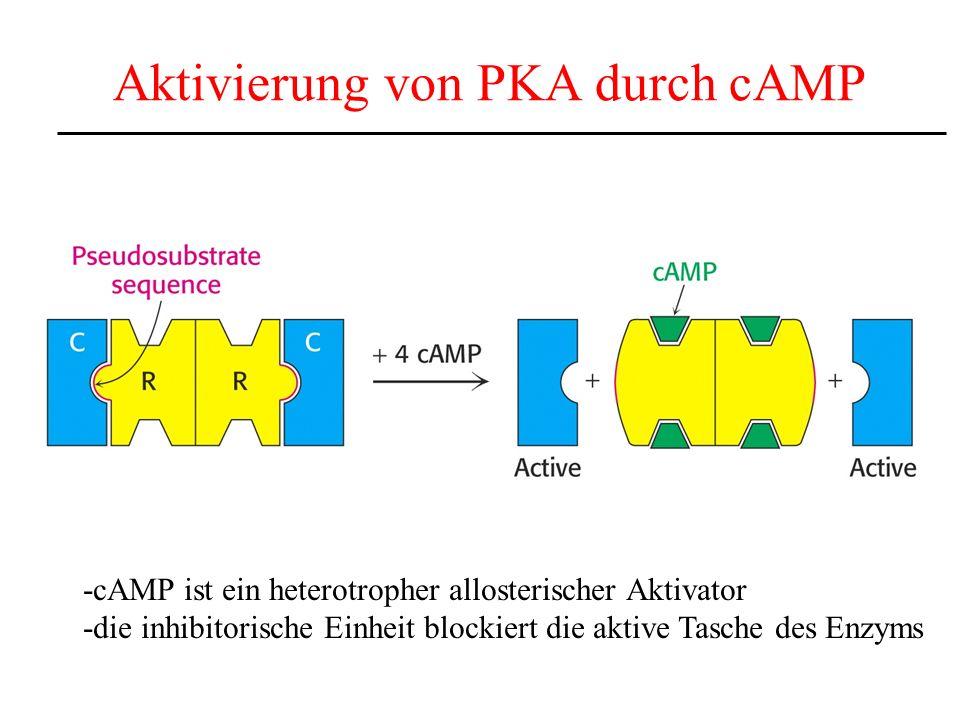 Aktivierung von PKA durch cAMP